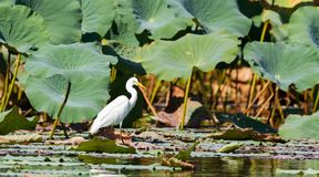 Intermediate egret with native lotus lily leaf. Intermediate egret, Corroboree Billabong, Northern Territory, Australia stock images
