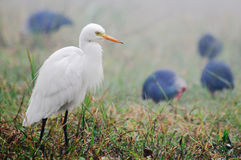 Intermediate Egret Egretta intermedia Royalty Free Stock Images