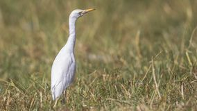 Intermediate Egret Among Reeds. Intermediate egret - Egretta intermedia, is wandering among weeds in Hawassa, Ethiopia, Africa royalty free stock image