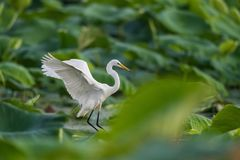 Intermediate egret flapping its wings. On lotus pond, yellow-billed egret, ardea intermedia royalty free stock photography