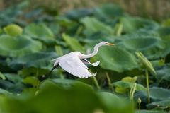 Intermediate egret flying. Intermediate egret or yellow-billed egret flying over the lotus pond stock photos