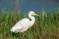 An Intermediate egret hunting in the reeds. The intermediate egret, median egret, smaller egret, or yellow-billed egret is a medium-sized heron royalty free stock photos