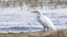Intermediate Egret on Lake Shore. Intermediate Egret, Ardea intermedia, is looking for food at the shore of lake in Ethiopia, Africa royalty free stock photo