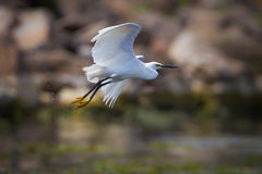 Intermediate Egret (Mesophoyx intermedia). Flying in nature at Hui Mai Teng,Thailand stock image