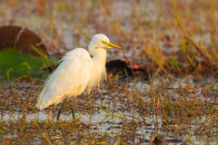 Intermediate Egret. (Mesophoyx intermedia ) with pairing feather in nature royalty free stock photos