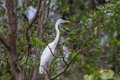 Intermediate Egret in nature. Intermediate Egret perching on tree branch in the forest Mesophoyx intermedia, Thailand royalty free stock images
