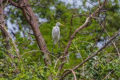 Intermediate Egret in nature. Intermediate Egret perching on tree branch in the forest Mesophoyx intermedia, Thailand stock image