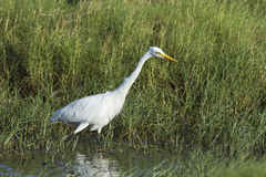 Intermediate Egret in Pottuvil, Sri Lanka Stock Photos
