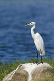 Intermediate Egret in Pottuvil, Sri Lanka Royalty Free Stock Images