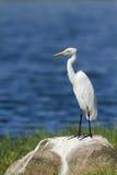 Intermediate Egret in Pottuvil, Sri Lanka Royalty Free Stock Images