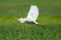 Intermediate egret& x27;s flight royalty free stock photos