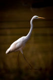 Intermediate egret striding through lake in shadows royalty free stock images