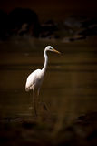 Intermediate egret wades through lake in shadows royalty free stock photo