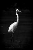 Intermediate egret wading through lake in mono Royalty Free Stock Image