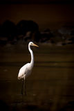 Intermediate egret wading through lake in shadows royalty free stock photo
