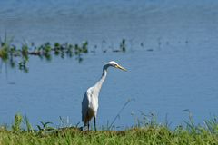 Intermediate Egret Watching For Prey. An Intermediate Egret ardea intermedia watching out for prey in the midday sun at Fogg Dam, Northern Territory, Australia royalty free stock photography