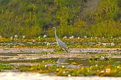 Intermediate Egret in Wetland Pond Stock Image