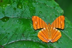 Intermediate maplet butterfly. Of Thailand background Royalty Free Stock Photos