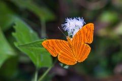 Intermediate Maplet butterfly Stock Image
