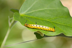 Intermediate Maplet Chersonesia intermedia caterpillar Stock Image