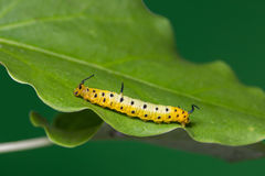 Intermediate Maplet Chersonesia intermedia caterpillar Royalty Free Stock Photography