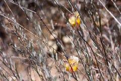Intermediate Mariposa Lili at Laguna Coast Wilderness Park, Laguna Beach, California. Calochortus weedii var. intermedius, a monocot, is a perennial herb (bulb) royalty free stock photo