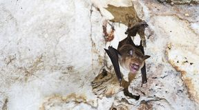 Intermediate roundleaf Bat Hipposideros cf. larvatus are staying in limestone caves. stock images