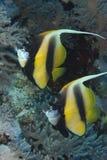 Intermedius de Heniochus - la Mer Rouge Photographie stock