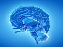 The internal brain Stock Photo
