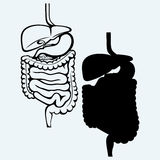 Internal human digestive system Royalty Free Stock Photos