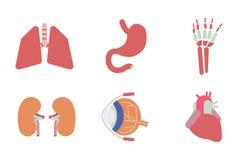 Internal human organs. Stock Image