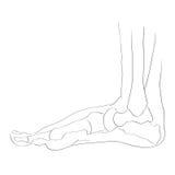 Internal lateral view foot bones Stock Photo