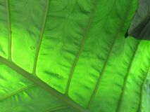Internal leaf veins backlit by sun Royalty Free Stock Images