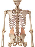The internal oblique. Medical accurate illustration of the internal oblique Royalty Free Stock Photography