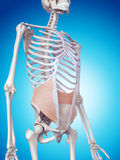 The internal oblique. Medically accurate illustration of the internal oblique Royalty Free Stock Photo