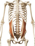 The internal oblique. Muscle anatomy - the internal oblique Royalty Free Stock Photos