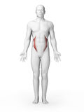 Internal oblique muscles Stock Image