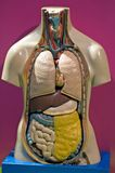Internal oragans torso. Model of human torso showing internal organs vector illustration