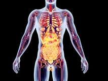 Internal Organs. The internal adrenal Organs. 3D rendered anatomical illustration Royalty Free Stock Image