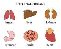 Internal organs Royalty Free Stock Photography