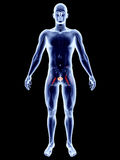 Internal Organs - Bladder Royalty Free Stock Images