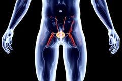 Internal Organs - Bladder Stock Photo