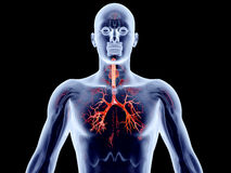 Internal Organs - Bronchial Arteries Stock Photo