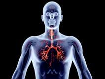 Internal Organs - Bronchial Arteries Stock Photo