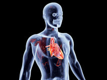 Internal Organs - Heart Stock Photos