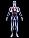 Internal Organs - Heart Stock Image