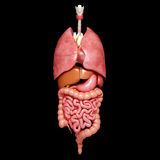 Internal organs of Human body Royalty Free Stock Photos