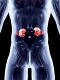 Internal Organs - Kidneys Royalty Free Stock Image