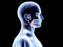 Internal Organs - Larynx Stock Photo
