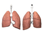 Internal Organs - Lungs Stock Images